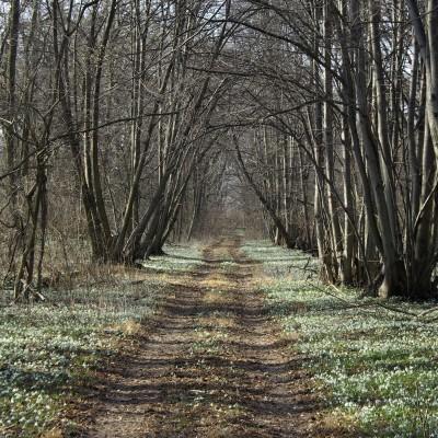 Bažantnica na jar, keď kvitnú snežienky. Na okrajoch cesty vidieť na mieste pôvodných lipových alejí nové stromy - koreňové výmladky, ktoré vyrástli z odumretých líp